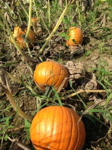 Pie pumpkins in our field